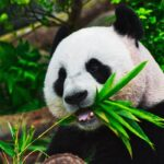 This image shows a Panda bear at the centre. The panda is chewing on a piece of bamboo, he is sat next to a tree.