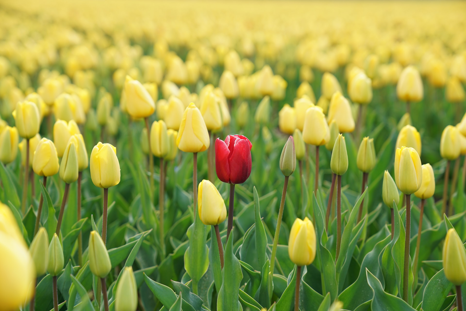 This image shows a field of flowers. All of the flowers are yellow except for one, which is red.