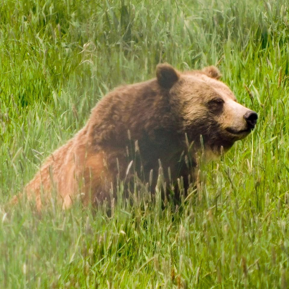 Kelsey has taken an image of a brown bear sat in long grass.