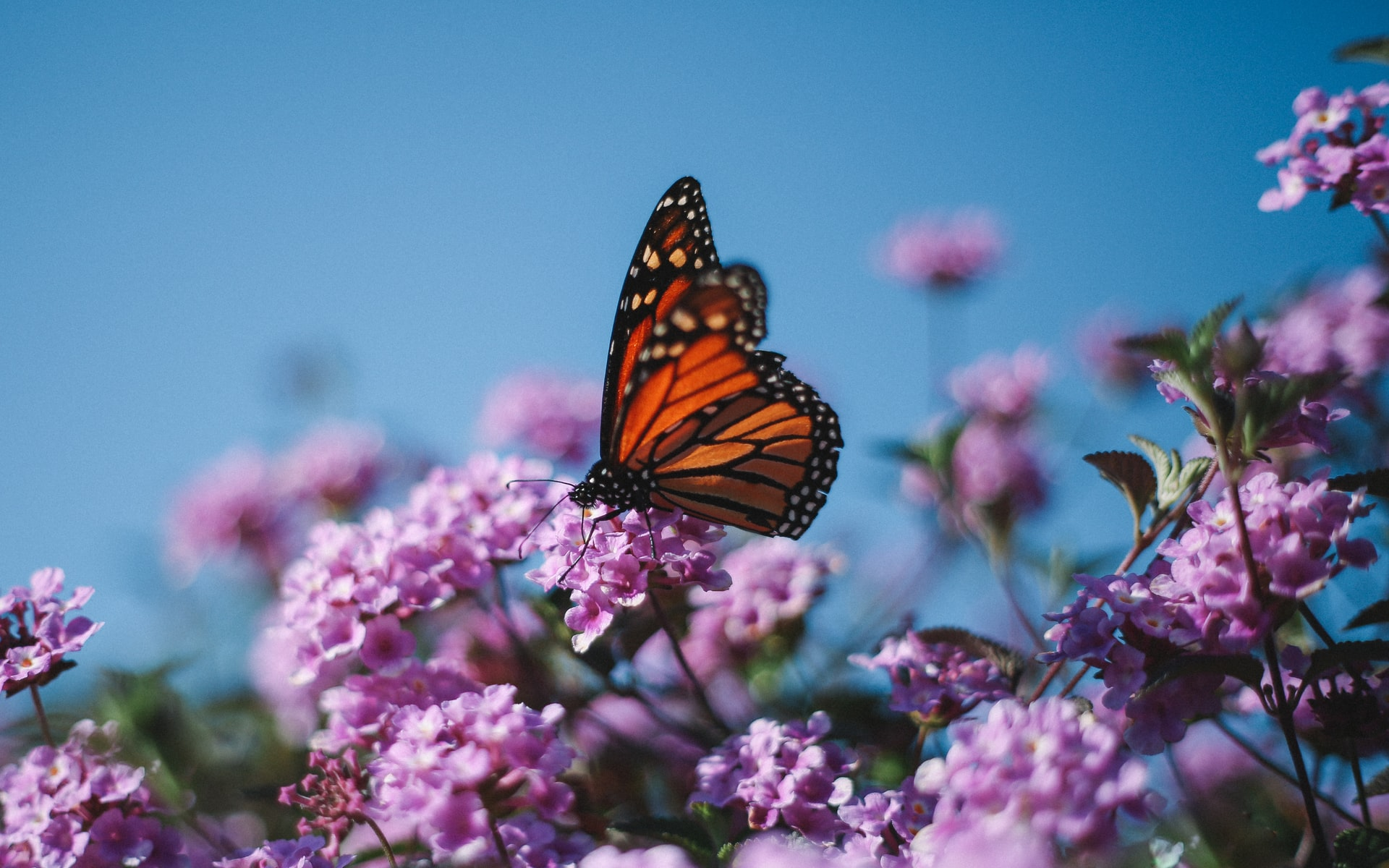 Under a bright, baby blue sky, a orange monarch butterfly sits on some pink flowers.