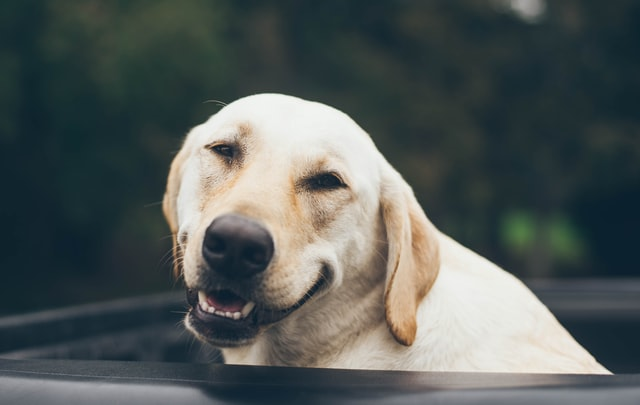A golden Labrador is peaking a car roof. The dog is looking at the camera and smiling.