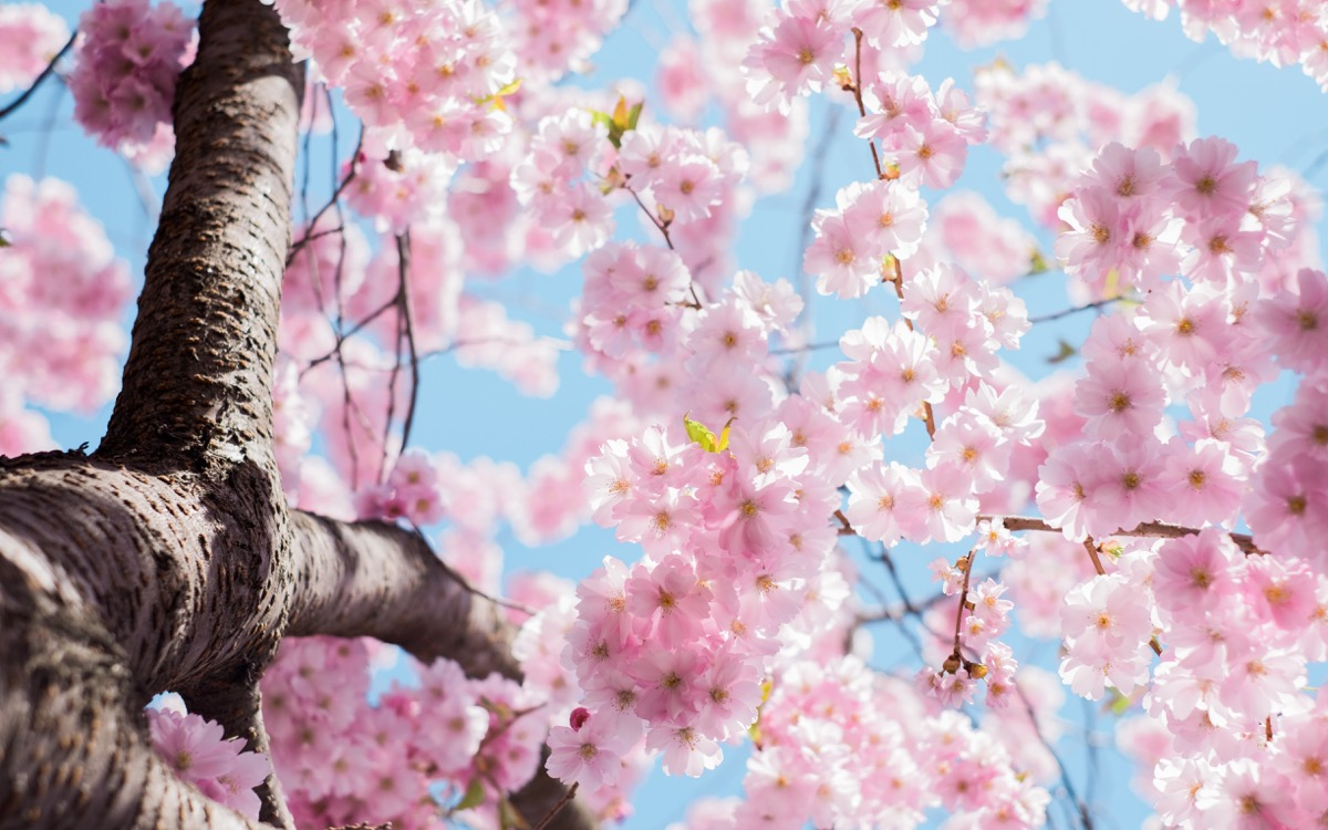This image shows a Cherry Blossom tree from a worms-eye view.