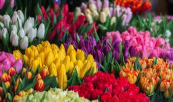This image shows brightly coloured tulips.