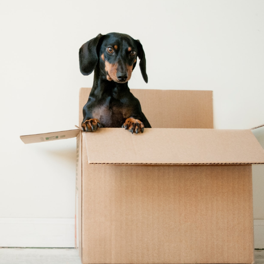 This image shows a small dog as it climbs out of a cardboard box.