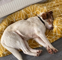 Nistor, a white dog with brown patches, lays asleep on his yellow bed.