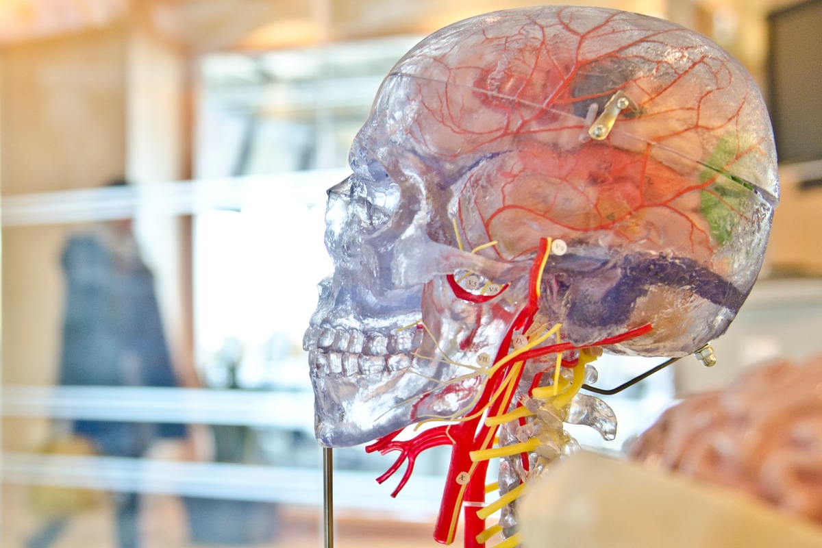 This image shows a model of a clear brain on display with colourful vessels on the inside.