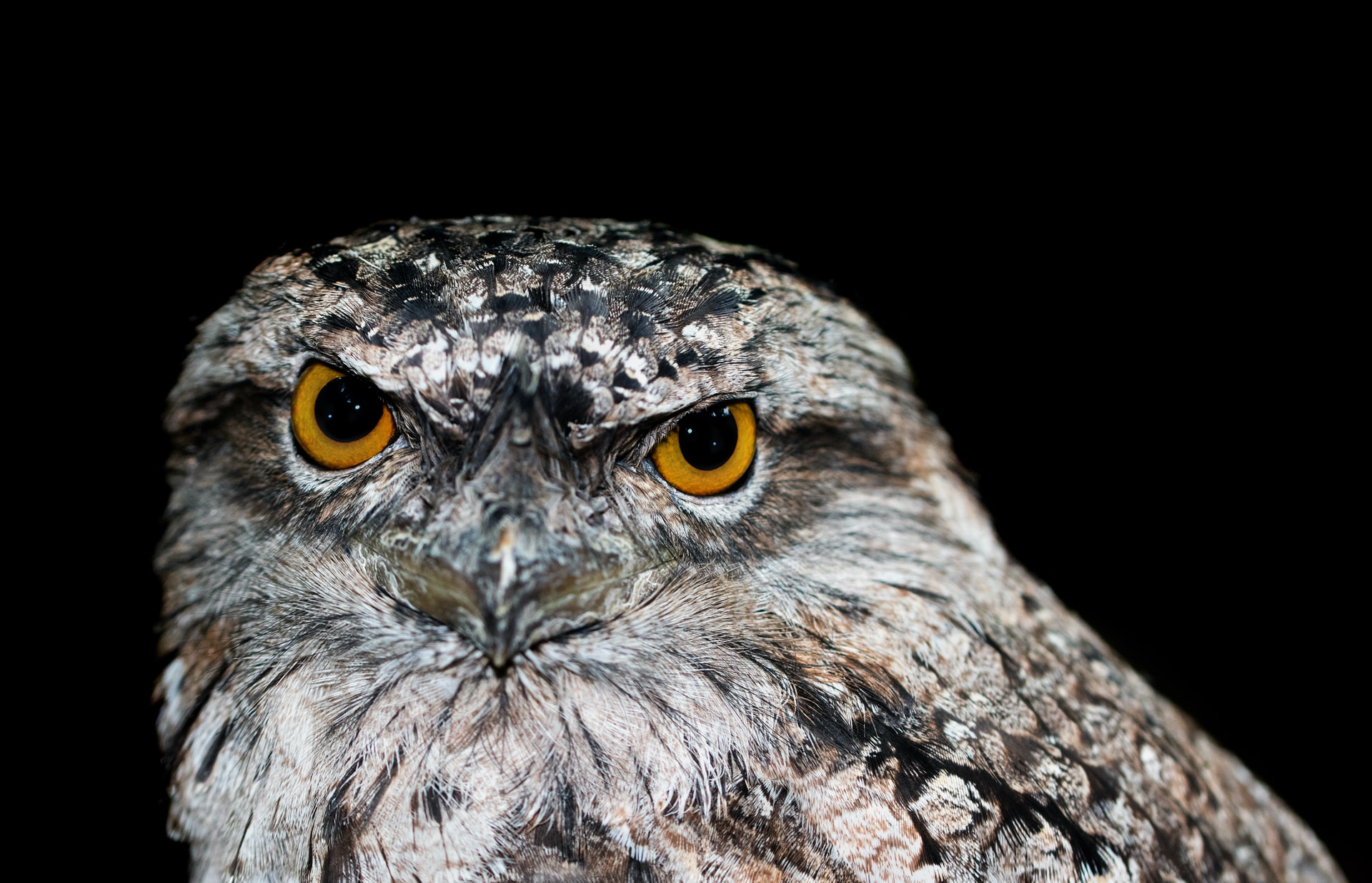 This image shows an owl with bright orange eyes with a dark background. The owl is glaring at the camera.