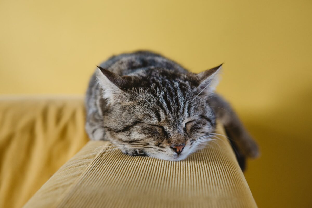 This image shows a cat asleep on the top of a sofa with a mustard yellow background.