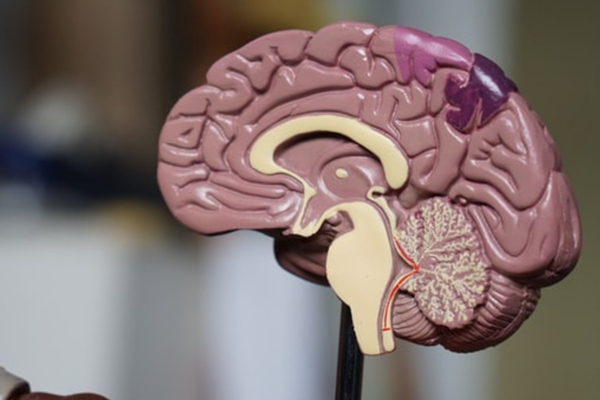 In this image, a model of the human brain is in half, showing viewers the inside.