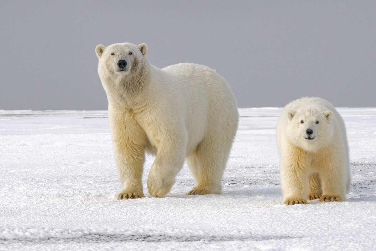 This image shows two polar bears on ice caps.
