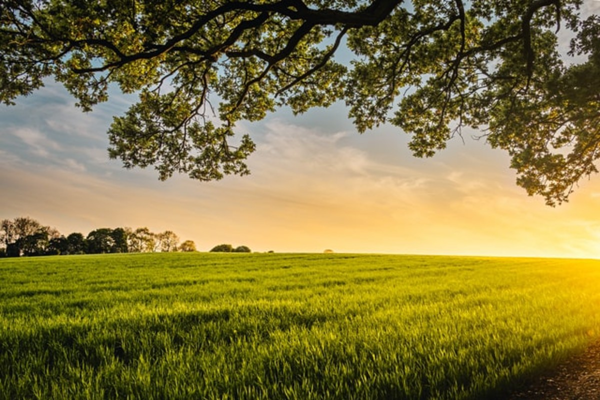 In this image, the sun sets on the horizon of a farmers field. a hanging branch of leaves hovers over the top of the image.